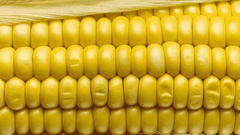 """Вкусный и сладкий сорт кукурузы """"Бондюэль"""": идеальный для консервации и употребления в свежем виде"""