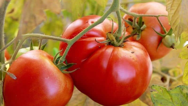 """Яркий ранний помидор с крупными плодами - томат """"Король рынка"""" и секреты его выращивания от опытных огородников"""