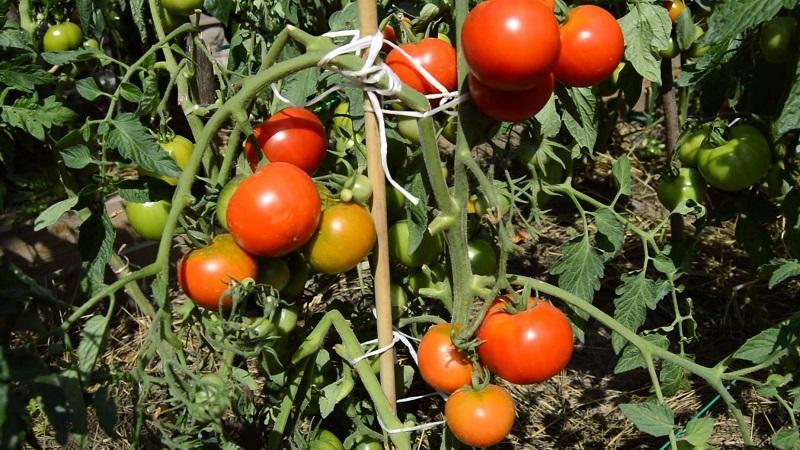 """За что все так любят томат """"Дачник""""?"""