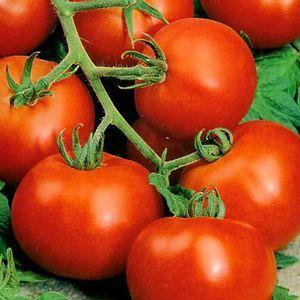 За что все так любят томат {amp}quot;Дачник{amp}quot;?