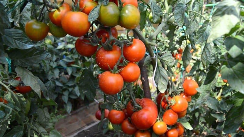 """Ультраранний томат """"Белый налив"""": выращиваем из семян рассаду, пересаживаем в теплицу или грунт и наслаждаемся урожаем"""