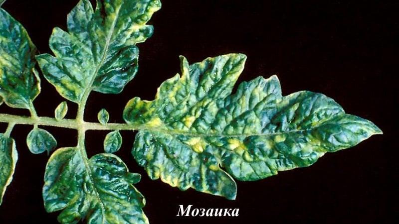 Боремся с заболеваниями томатов легко и эффективно: подборка лучших рецептов для обработки от болезней