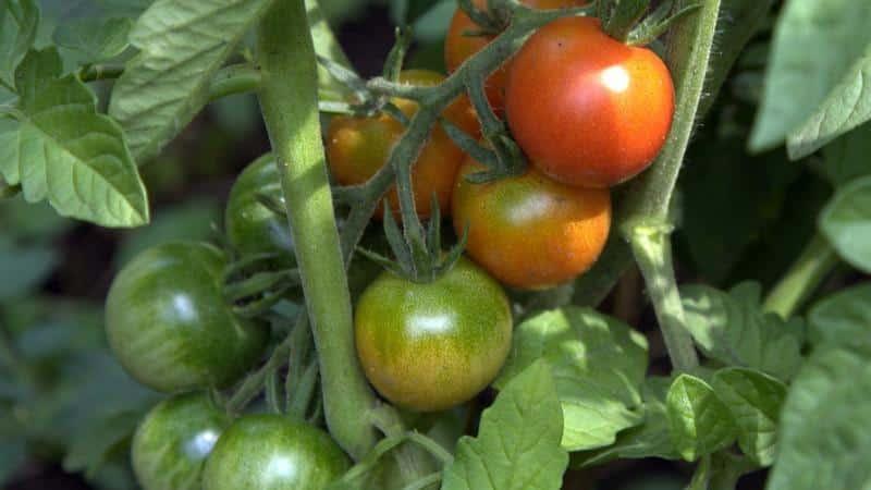 """Уникальный скороспелый томат """"Анюта"""", дающий возможность получить двойной урожай"""