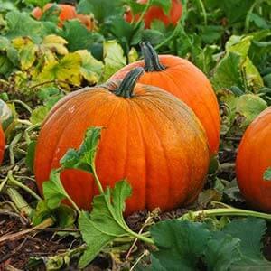 """Крупноплодный сорт с позитивным названием - тыква """"Улыбка"""": секреты агротехники для получения обильного урожая"""