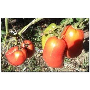 """Вкусные, сладкие и сочные томаты """"Подсинское чудо"""" - подарок от минусинских селекционеров-любителей"""