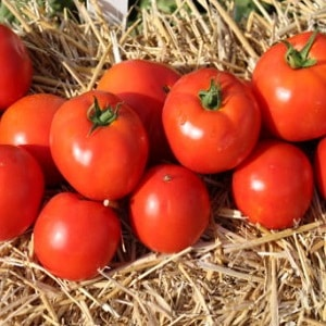 """Крепкие, устойчивые кусты для открытого грунта - томат """"Татьяна"""": чем хорош и как его выращивать правильно"""