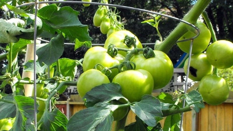 """Один из лучших скороспелых и неприхотливых сортов - томат """"Любаша f1"""": урожайность и характеристики"""