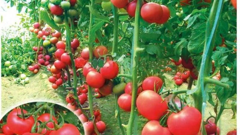 Томаты пинк буш урожайность