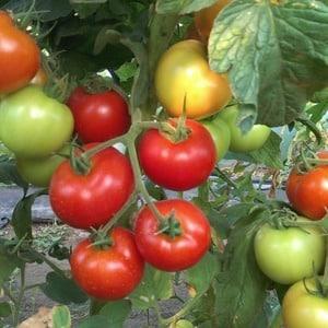 """Идеально подходящий для прохладного климата, но при этом дающий богатый урожай томат """"Марфа F1"""""""