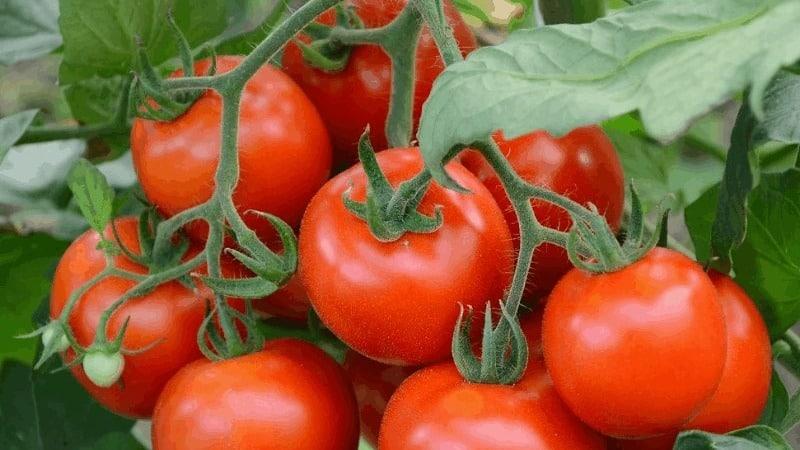 """Хороший выбор даже для начинающих огородников - томат """"Машенька"""" и секреты его выращивания для получения богатого урожая"""