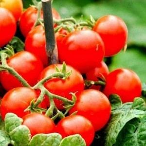 """Популярный и любимый многими сорт кисло-сладких помидоров черри: томат """"Японская кисть"""" и его преимущества"""