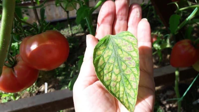 Что делать, если на листьях помидоров в теплице появились белые пятна