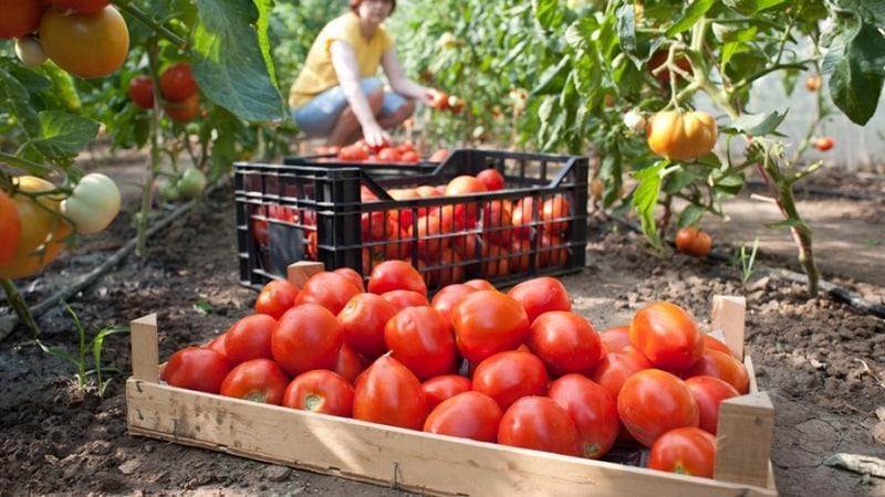 Как добиться высокой урожайности от томата {amp}quot;Красным красно{amp}quot;