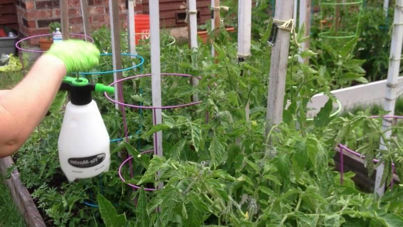 Как и чем обработать помидоры от фитофторы в теплице: обзор лучших средств и эффективные народные методы