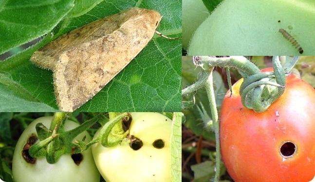 Как избавиться от совки на помидорах раз и навсегда?