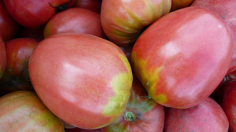 """Как выращивать томат """"Пудовик"""" для большей урожайности"""
