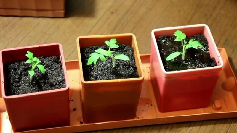 Как заготовить семена помидоров в домашних условиях и получить из них зимний урожай - советы опытных садоводов