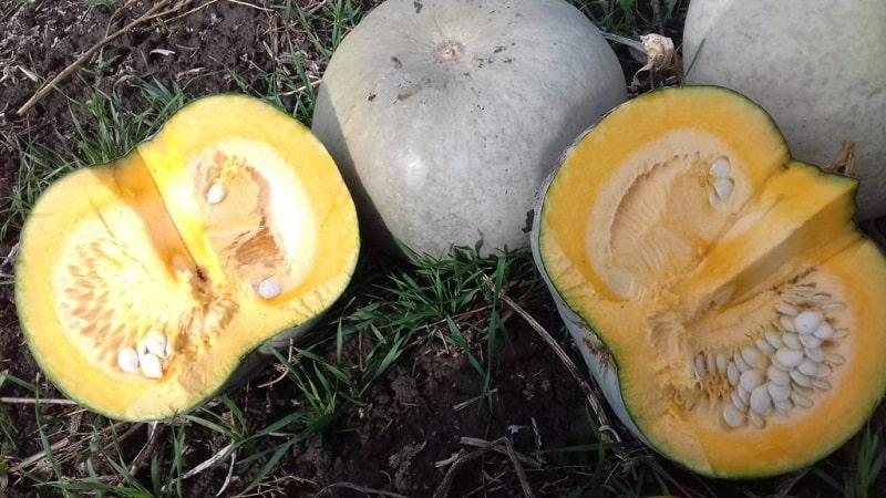 """Крупноплодный и среднеспелый сорт тыквы """"Волжская серая"""": правила агротехники и советы по выращиванию"""