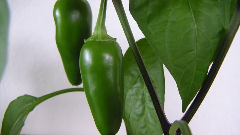 Маринованный перец халапеньо - рецепты в домашних условиях: 3 варианта приготовления вкуснейшей жгучей закуски