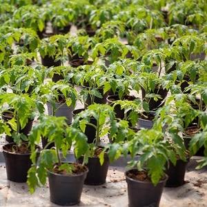 Обзор томата {amp}quot;Огородник{amp}quot;: преимущества и недостатки, условия выращивания и характеристики готового урожая