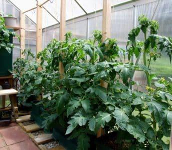 Почему помидоры в теплице жируют и что делать, если это произошло: руководство к действию и полезные советы