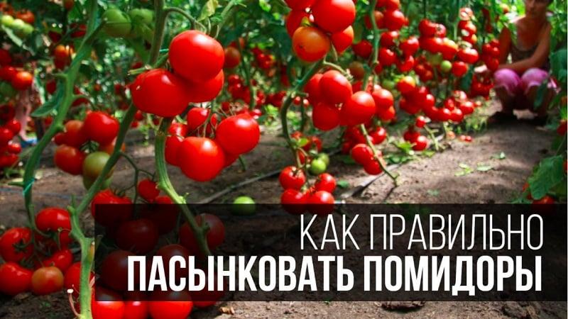 Поэтапная инструкция для начинающих огородников: как правильно пасынковать помидоры в теплице и зачем это нужно