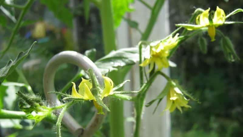 Спасаем свои томаты - как опылять помидоры в теплице из поликарбоната, если они не опыляются самостоятельно