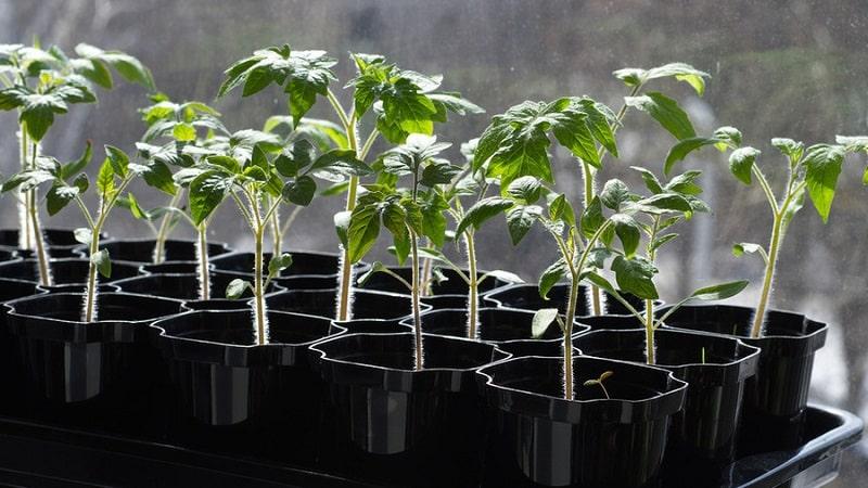 """Получаем максимальный урожай при минимальных затратах сил - томат """"Чудо лентяя"""""""