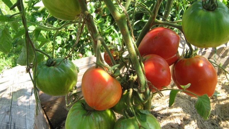 Томат Эм Чемпион: характеристика и описание сорта, отзывы тех, кто сажал помидоры и фото