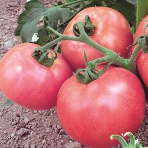 """Отличный сорт для любителей крупноплодных сладких помидоров - томат """"Розовый гигант"""""""