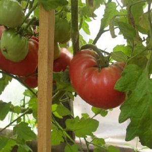 Вкуснейший салатный помидор со сладким медовым вкусом - томат «Розовый слон» и другие его преимущества