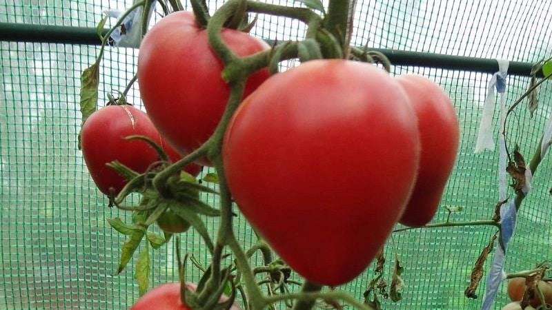 """Вкусные и ароматные помидоры, похожие на гигантские ягоды - удивительный томат """"Немецкая красная клубника"""""""