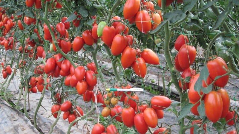 """Выращиваем самостоятельно богатый урожай томатов """"Колибри"""" для салатов, соков и консервации"""