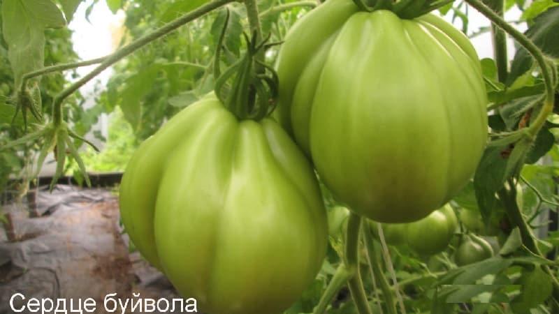 """Выращиваем самостоятельно крупные помидоры со сладкой, сочной, зернистой мякотью: томат """"Сердце буйвола"""""""