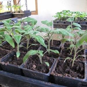 """Выращиваем на своем огороде томат """"Дикая роза"""" и наслаждаемся богатым урожаем крупных и сочных плодов"""