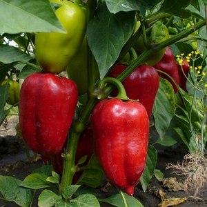 """Чем хорош перец """"Винни Пух"""": знакомимся с сортом и учимся правильно его выращивать"""