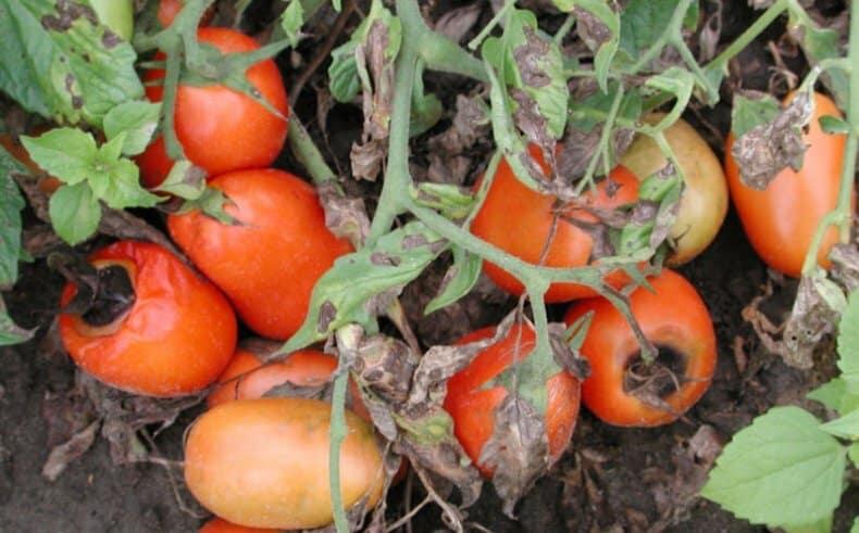 Находим причину и эффективно боремся с ней: что делать, если помидоры чернеют снизу и как предотвратить проблему