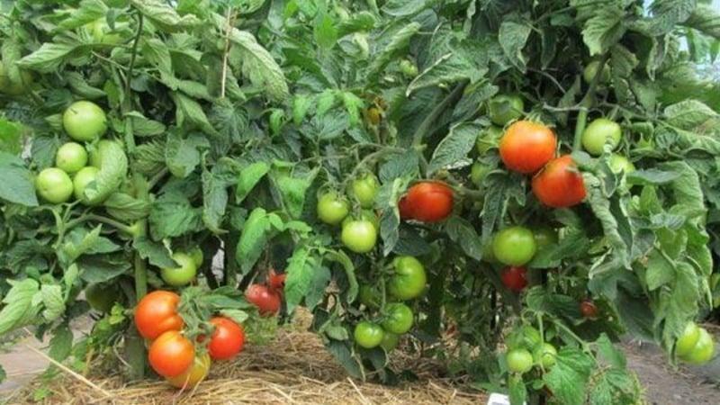 """Неприхотливый и некапризный сорт, требующий минимального ухода - томат """"Толстушка"""": выращиваем без хлопот"""