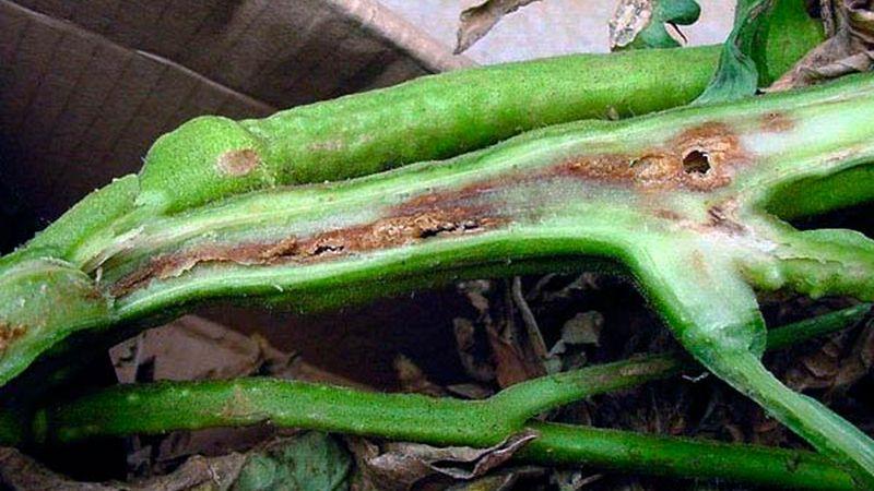 Что такое бактериоз томатов, почему он появляется в теплице, и как быстро и эффективно его вылечить