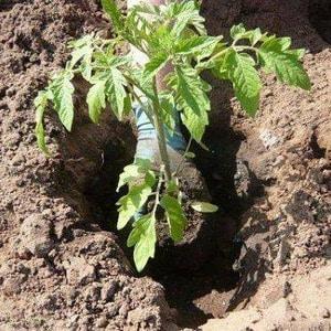 """Урожайный, раннеспелый, нетребовательный к уходу и идеально подходящий для консервации томат """"Гулливер"""""""