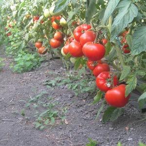 """Гибридный томат """"Берберана"""": преимущества и недостатки вида, пошаговая методика его выращивания"""