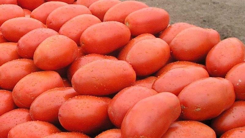 """Легендарный гибрид – томат """"Инкас"""": почему его так любят в разных странах, и чем он понравится именно вам"""