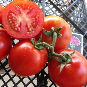 """Проверенный временем томат """"Титан"""" для выращивания в открытом грунте"""