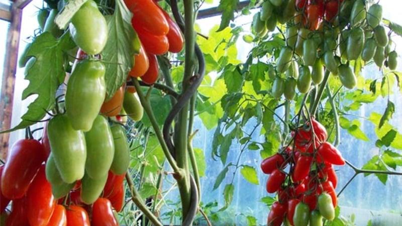 Сорт томата {amp}quot;Аурия{amp}quot; от новосибирских селекционеров, прославившийся высокой урожайностью и великолепным вкусом плодов