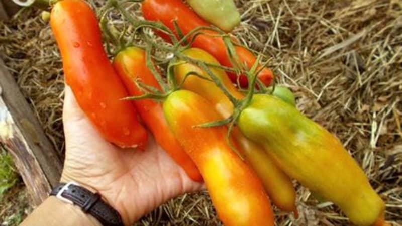 """Сорт томата """"Аурия"""" от новосибирских селекционеров, прославившийся высокой урожайностью и великолепным вкусом плодов"""