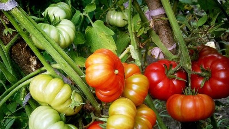 """Чудо голландской селекции - томат """"Марманде"""": чем хорош и как вырастить его на своем участке"""