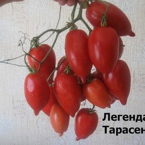 """Молодой сорт, набирающий популярность среди дачников - томат """"Легенда Тарасенко"""", идеальный для выращивания в открытом грунте"""