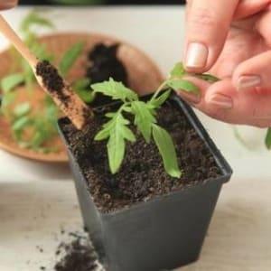 """Преимущества и недостатки томата """"Торбей"""": почему его стоит попробовать вырастить"""