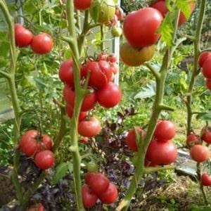 """Среднеспелый сорт с плодами, как с картинки - томат """"Мажор"""" и инструкция по его выращиванию в открытом и закрытом грунте"""