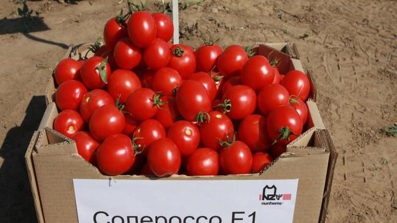 """Выращиваем богатый урожай ультраранних томатов """"Солероссо"""" и защищаем его от вредителей и болезней"""